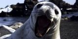 Tuleň Weddellův